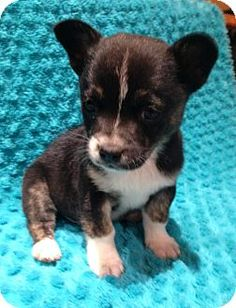 Williamsport, MD - Chihuahua/Terrier (Unknown Type, Small) Mix. Meet Trux (2 lb) Adorable, a puppy for adoption. http://www.adoptapet.com/pet/17777256-williamsport-maryland-chihuahua-mix