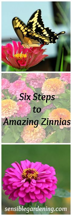 Flower Gardening Six Steps to Amazing Zinnias with Sensible Gardening - Growing zinnias is far from difficult. Zinnias are a great garden annual that anyone can grow. Grow beautiful zinnias with these 6 easy steps. Garden Shrubs, Lawn And Garden, Garden Plants, Zinnia Garden, Garden Bar, Patio Plants, Landscaping Plants, Cut Flower Garden, Flower Farm