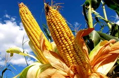 Noticia: La Península de Yucatán necesita ser declarada libre de este cultivo, solicitan los indígenas.