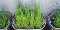How to Grow Rice at Home |  1    Fill the bucket with 6 inches of potting soil. Do not use a bucket or plant pot that has drainage holes. Add water until the water stands 2 inches above the soil level.  2    Move the bucket to a spot that gets full sun and maintains a temperature of 70 degrees F or higher. Add 1/4 cup of long-grain organic brown rice to the bucket. Sprinkle it over the water evenly. The grains will sink to the soil level......