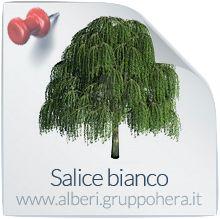 Salice Bianco - Elimina la bolletta, regala un albero - Gruppo Hera