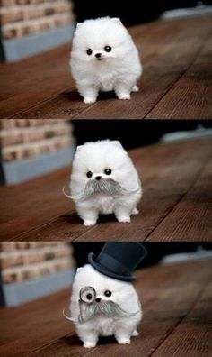 Google Image Result for http://www.gracielushihtzu.com/wp-content/uploads/2012/02/cute-pomeranian-dog.jpg