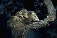 Opossum at night...