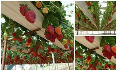 Today we will show you how to grow strawberries in rain gutters. One issue with growing strawberries in ground are snails and slugs. They will eat your fruits and plants. Another issue is the back pain associated with planting and taking care of plants. You know what I am talking about if you works hours …