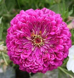 "The mesmerizing blooms on the Zinnia 'Giant Violet Queen' can grow to 6"" across!"