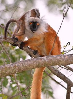 Black Lemur (brown female) E.macaco with young, high in a tree at Nosy Be, North-west Madagascar. Baby Exotic Animals, Unique Animals, Animals Beautiful, Baby Animals, Beautiful Creatures, Cute Animals, Animals And Pets, New World Monkey, Magnificent Beasts