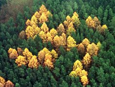 For decade, this swastika of larch trees stood undiscovered in the middle of dense pine forest near the village of Zernikow, about 110 kilometers (68 miles) northeast of Berlin. After the Nazi symbol was discovered in an aerial photograph in 1992, a scandal broke out that did serious damage to the area's reputation.