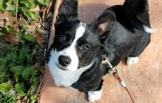 Corgi Boston Terrier mix...so this is basically one of the cutest dogs ever.
