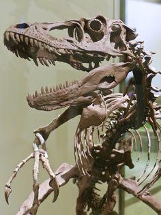 Velociraptor at the Americian Museum of Natural History, NYC, NY. © Mark Ryan