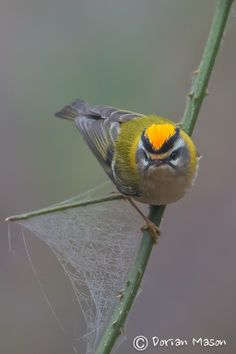 Firecrest, by Dorian Mason - Sussex Ornithological Society