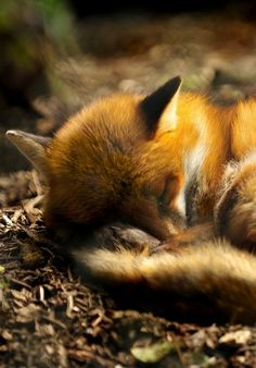 Sleeping and Curled up Little Red Fox