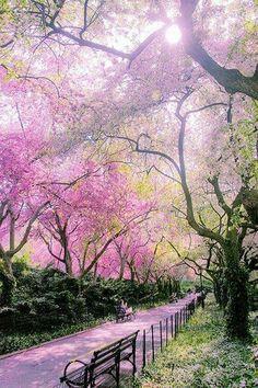 Japon sakura