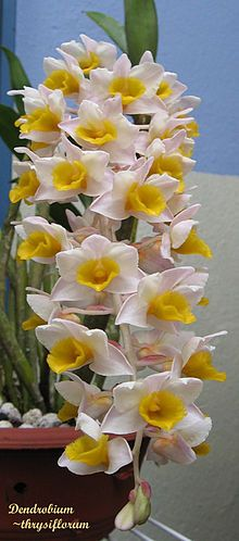 Pinecone-like Raceme Dendrobium: Dendrobium thyrsiflorum