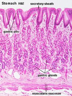 Histology - Stomach