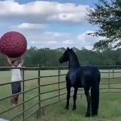 Funny Horses, Cute Horses, Beautiful Horses, Animals Beautiful, Funny Animal Videos, Cute Funny Animals, Cute Baby Animals, Animals And Pets, Horse Videos