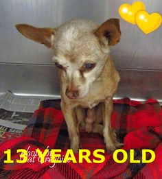 A1151947 I am a 13 yr old neutered male brown Chihuahua mix. I came to the shelter as a stray on Jan 2. available 1/12/15. Adorable little guy. Loves going outside and walking around. Baldwin Park shelter https://www.facebook.com/photo.php?fbid=906412846037220&set=a.705235432821630&type=3&theater
