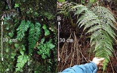 A species of fern previously unknown to science has been discovered by botanists as they surveyed areas around remote waterfalls along Haleakalā on Maui. Hawaiian Plants, Ferns, Maui, Remote, Waterfall, Diy, Bricolage, Waterfalls, Do It Yourself