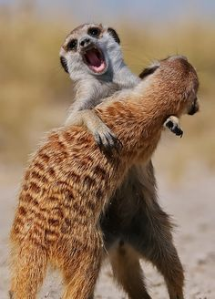Meerkats, Botswana. Members of the Mongoose family, the Alpha male and female dominate the groups, which can exceed 50 members at times. Other females are not allowed to reproduce, so they babysit and lactate to feed the others. - K