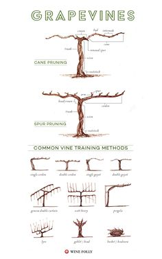 Illustrated Grape Vine Training Methods 8211 Grape vine trellis Grape vine trellis Training vines Vine trellis Garden vines Grape trellis Wine folly f youve ever driven.