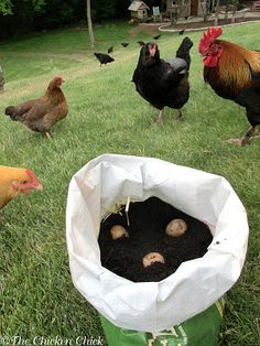 Growing potatoes in chicken/duck feed bags. Such a smart way to upcycle the bags and grow potatoes in a compact space.
