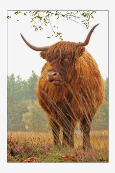 Schotse hooglander, Hooghalen. Gefotografeerd door Edwin
