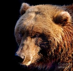 Brown bear, square format