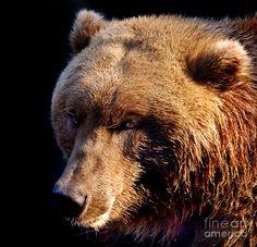Brown bear, square format