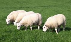 Southwest Transitional Sheep Forage Blend