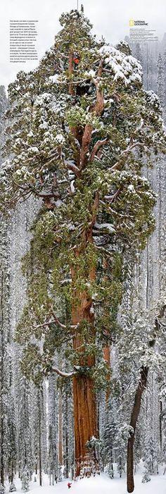 3200살 먹은 나무의 위엄
