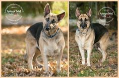 Meet our Adoptable Dog of the Week, Sheba, an adult female German Shepherd from Montgomery, Alabama.   Visit her at @helpingshepherd