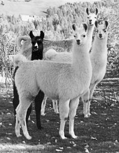 here's a llama, there's a llama, and another little llama, fuzzy llama funny llama, llama llama duck