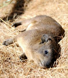 Unbelievable animal fact! A Dassie (otherwise known as a Rock Hyrax) as seen at the Wildlife Rehabilitation Centre volunteer placement in South Africa (http://www.travellersworldwide.com/08c-south-africa/08-sa-crow.htm). Did you know that despite them looking rather like a guinea pig, they are actually more closely related to elephants, dugongs and manatees?