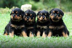 Cute Rottweilers