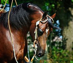 WC Concho (Amazing Fame V x Prodigy SFI) 2002-2012 Bay Arabian Stallion