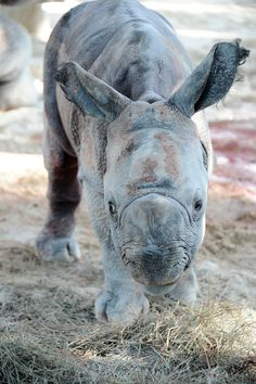 """Early yesterday morning, after a nearly 16 month pregnancy, """"Kalu,"""" an 11 year old Indian one horned Rhinoceros, gave birth at Zoo Miami. This is her baby."""