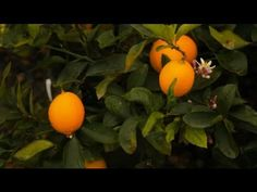 How to Feed Lemon Trees | Monrovia