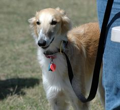 From the source link:  silken windhound (is this a real breed?)