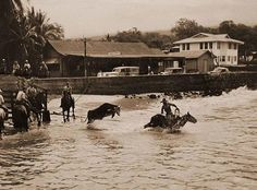 Paniolos' transporting their cattle to Kona in the 1940s. This particular photo is showing off the skills of a Paniolo wrangling up a loose bull.