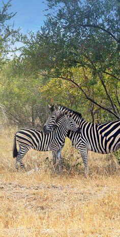 Zebra mum and her baby <3 at Kruger National Park in South Africa © Sabrina Iovino via @Just1WayTicket