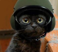 helmet cat
