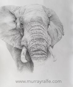 African Elephant Pencil Drawing 550mm x 730mm By Murray Ralfe www.murrayralfe.com