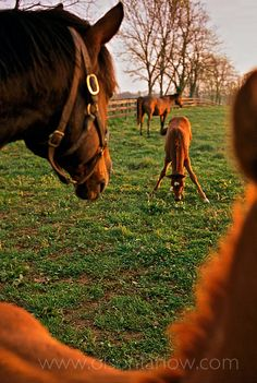 Thoroughbred foals are fitted with a halter and put into a paddock with their mothers on the first day they are born.  Mares and foals typically stand in close proximity to each other during the first days and weeks of life. They spend time with other mares and foals learning to socialize while grazing on dandelions, sweet clover and the bluegrass of Kentucky.  Photograph of thoroughbred horses was published in National Geographic magazine's feature article on Kentucky Horse Country.