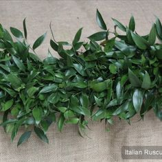 Garland Type Italian Ruscus Only