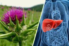 Γαιδουράγκαθο: Αυτό το Φυτό μπορεί να Σώσει το Συκώτι σας και τη Ζωή σας! Healthy Habbits, Essential Oils, Health Fitness, Plants, Blog, Blogging, Plant, Fitness, Planets