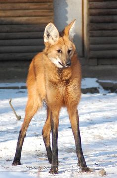 Maned Wolf. I've always been really interested in maned wolves. I really want to see one in person :)