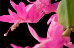 Christmas cactus (Schlumbergera spp.) is a flowering succulent that blooms at the time of the winter holidays in the United States. These tropical plants, which grow outdoors only in U.S. Department ...  important tip about using fertilizer and Epsom Salts on plant