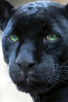 Panther with green eyes