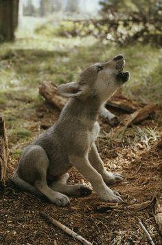 wolf pups first howl
