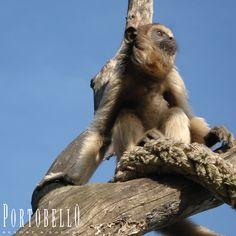 Macaco Bugio Preto — O corpo é forte e maciço. A cabeça, também maciça, nos machos parece ainda maior, devido aos longos pêlos que revestem o queixo, (por isso ele também é conhecido como macaco barbado). #Portobello #Resort #Safari