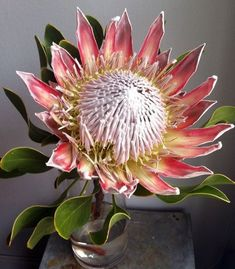 Protea cynaroides, the king protea, is a flowering plant. It is a distinctive member of Protea, having the largest flower head in the genus. The species is also known as giant protea, honeypot or king sugar bush. Protea Art, Flor Protea, Protea Flower, Exotic Flowers, Amazing Flowers, Pink Flowers, Beautiful Flowers, Australian Flowers, Australian Wildflowers